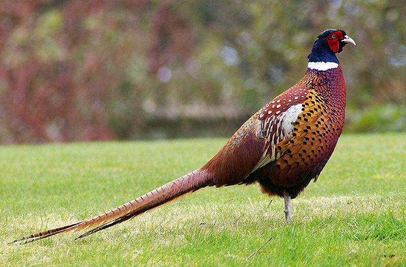 trego-pheasant-season2